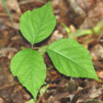 leaflets_three_poison_ivy